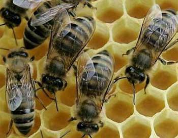 Сбогом български пчели, сбогом български мед! *