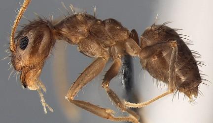 Чудовищни мравки, които се хранят с компютри,  нападат  САЩ