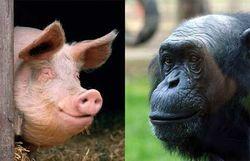 Генетик: човекът е плод на любовта между свиня и шимпанзе