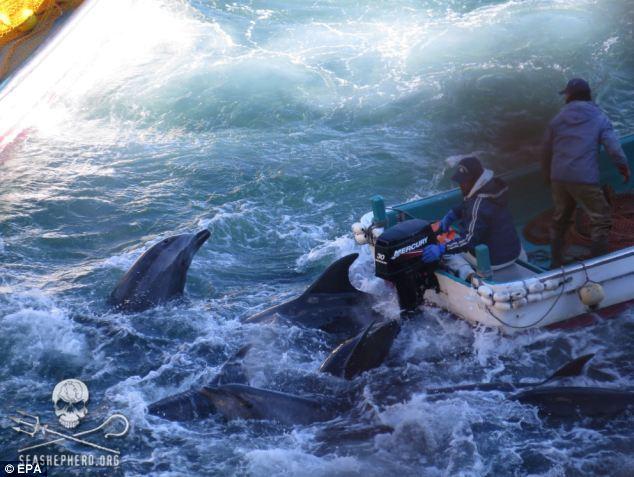 """Японци убиха 250 делфини по време на """"традиционния си фестивал"""" (видео)"""