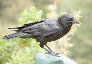 Гениална дива врана върши чудеса (видео)