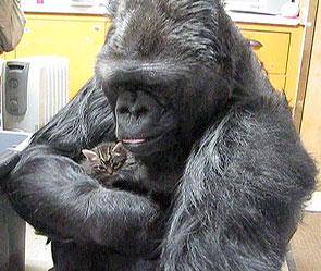 Говорещата горила Kоко възпитава котенца  (видео)