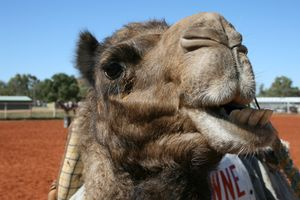 Camel_Chewing