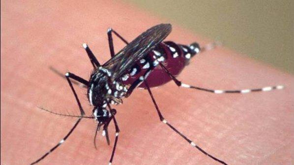 Тигрови комари са забелязани във Видин