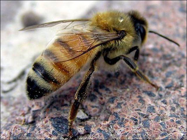 Официално: Всички пчели в България са заразени с вируси!