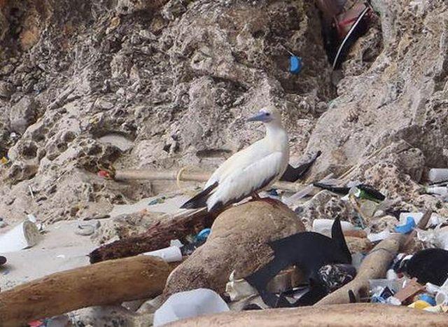 В стомасите на 90% от морските птици има пластмаса