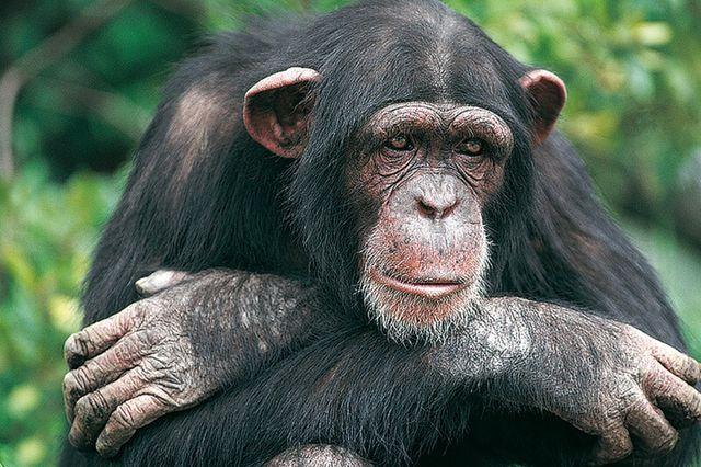 Очаква ли ни  бунт на  маймуните?