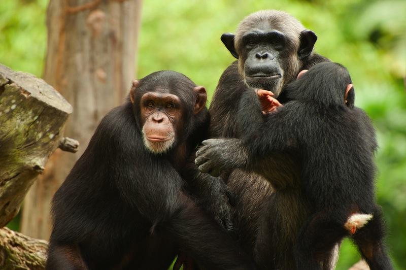 Сензация: Шимпанзета в Африка си измислиха Бог и започнаха да му се кланят (видео)