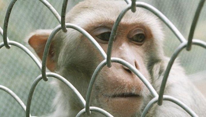 Бунтът на животните: Маймуна уби човек с камък