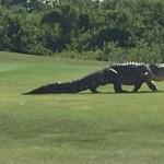 alligator-golf-519425