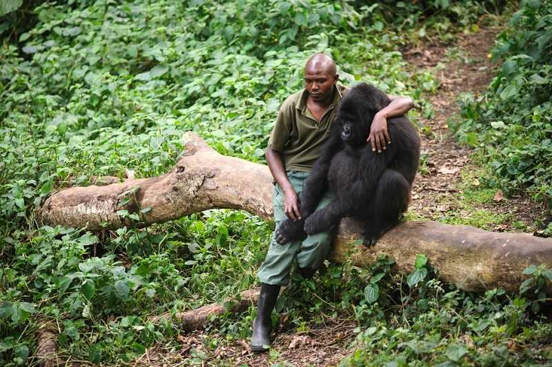 Впечатляващо: Човек се опитва да утеши горила, загубила майка си