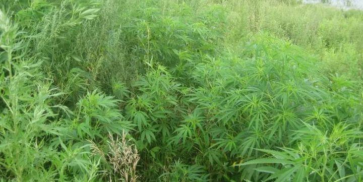 Холандският парламент разреши свободното отглеждане на марихуана