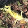 Поради студа във Флорида  игуаните започнаха да падат от дърветата (видео)