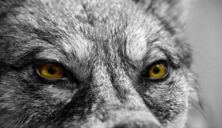evilwolf_471x312