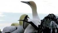 В Нова Зеландия умря най-самотната птица в света (видео)