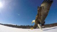Удивително нападение на орел на забавен кадър (видео)